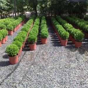 Arbustos De Eugênias Médias
