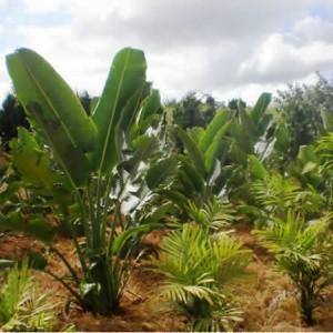 Bananeira Ravenala