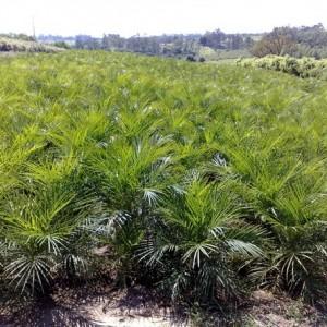 Palmeira Phenix