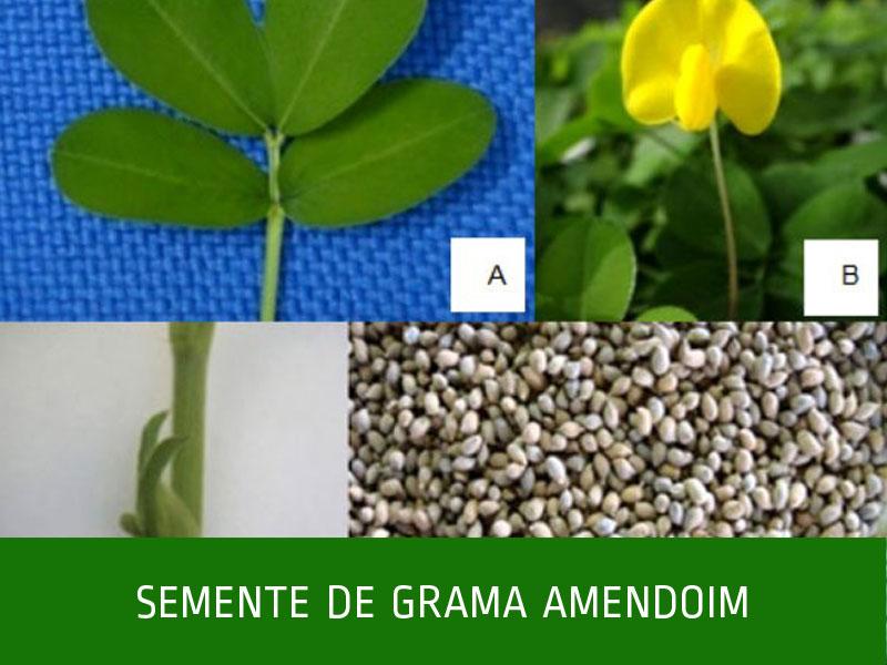 _Semente-de-grama-amendoim