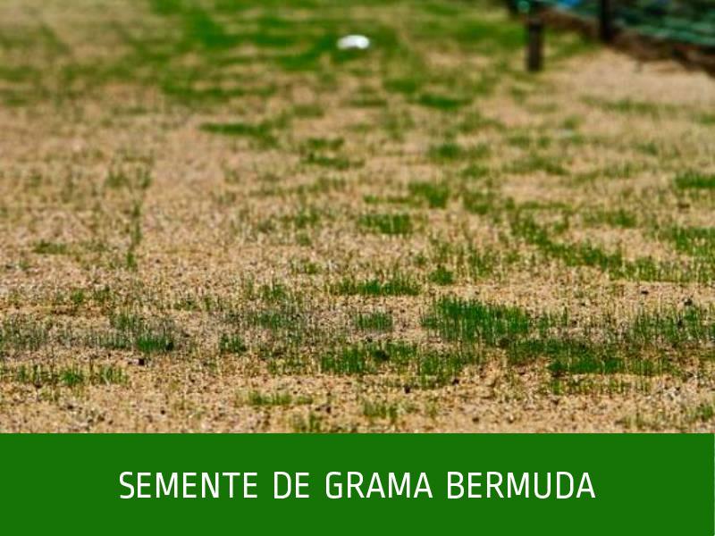 _semente-de-grama-bermuda